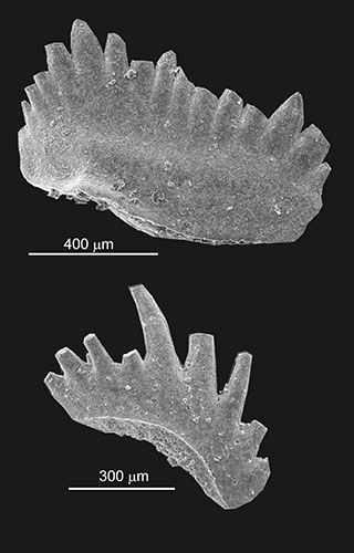 Triassic conodont (Image: GeoZentrum Erlangen)