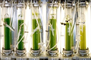 Microalga in photobioreactor screening modules (Image: FAU)