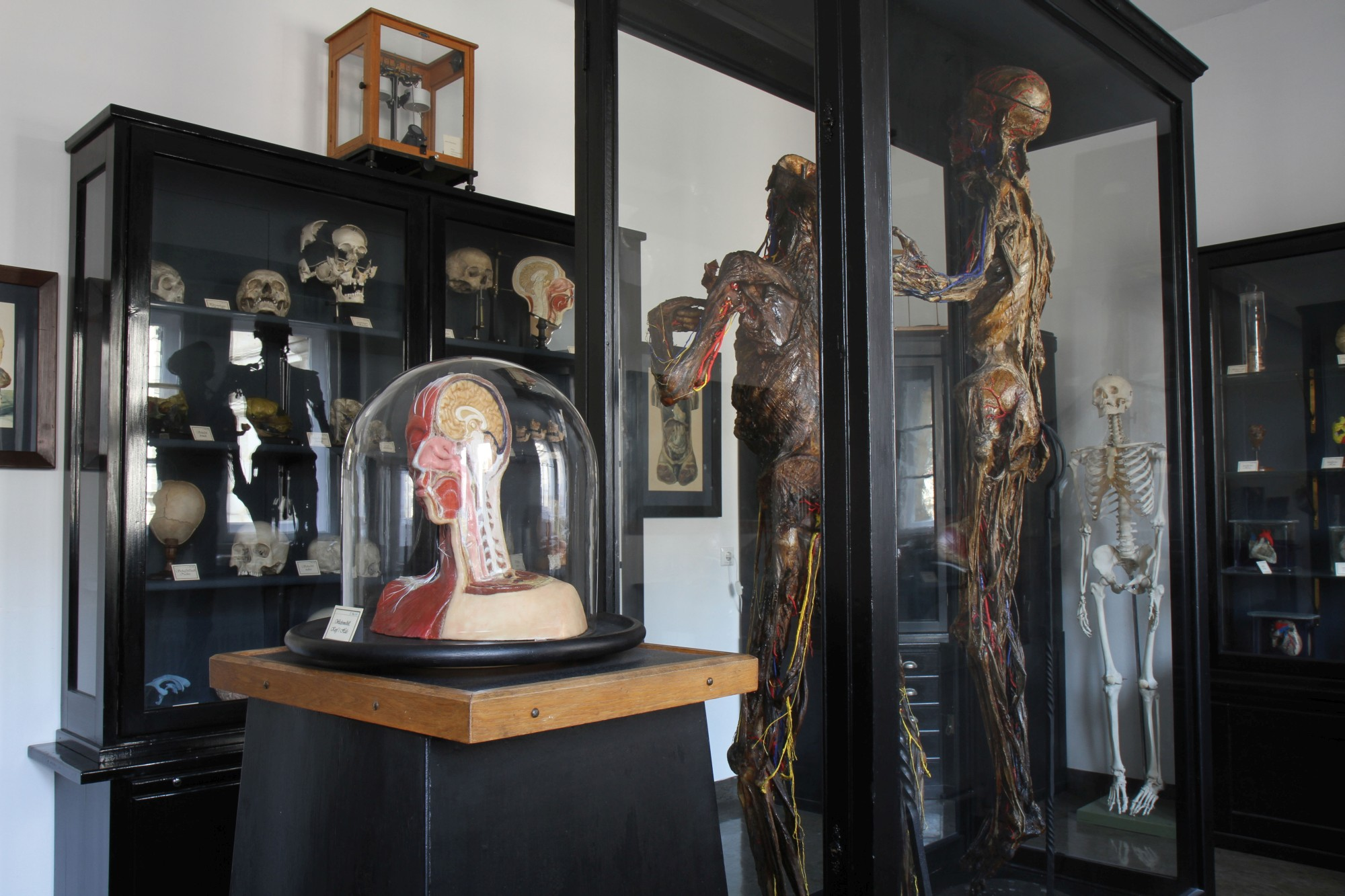 Various models and two full body preparations in the Anatomical Collection (Image: Georg Pöhlein)