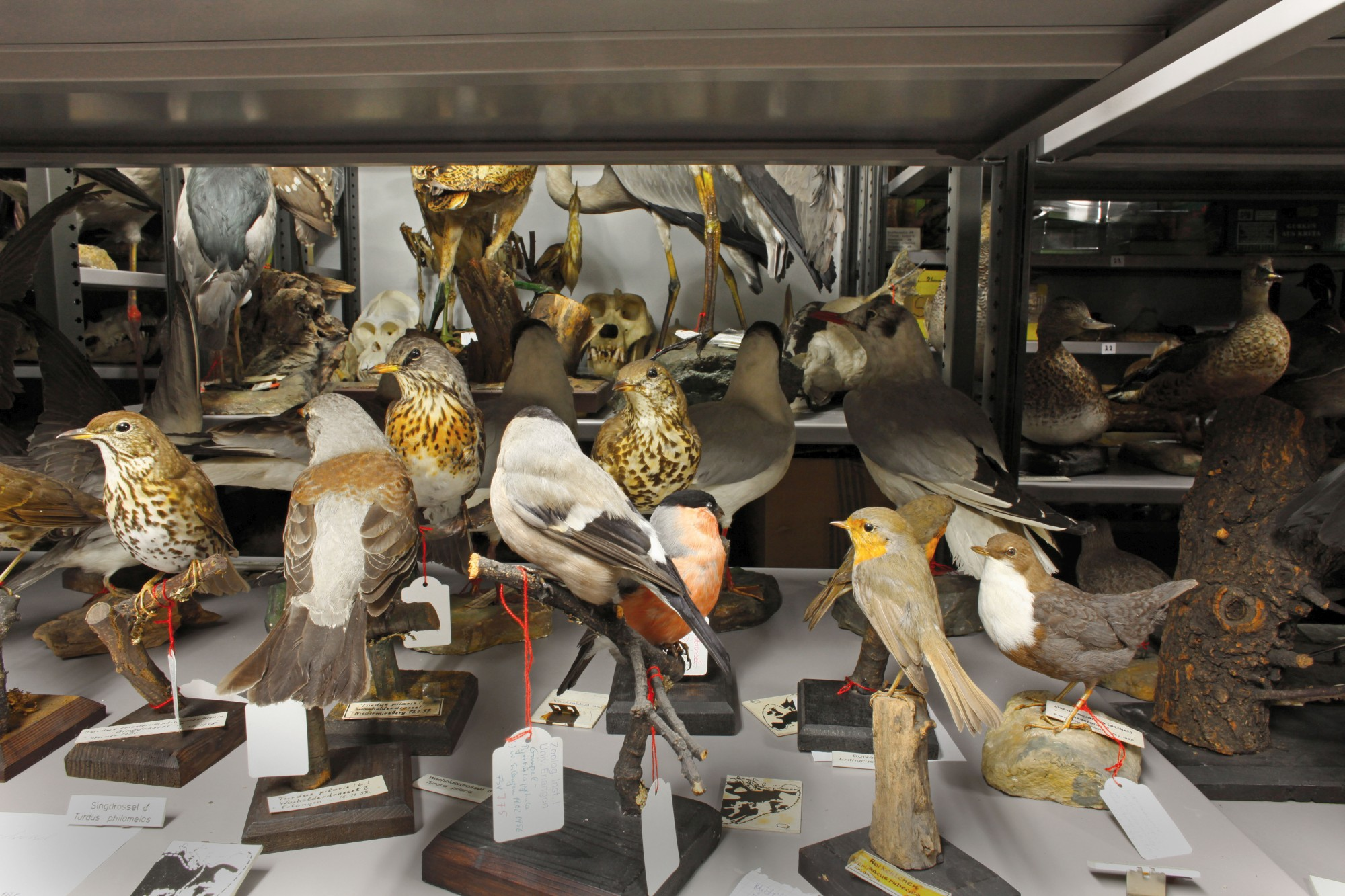 Stuffed birds in the Zoological Collection's storerooms (Image: Georg Pöhlein)