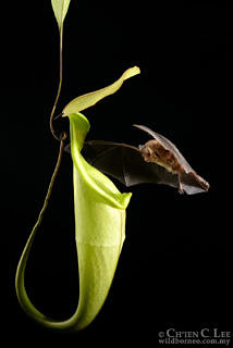 A Hardwicke's woolly bat flying into its roost: the pitcher of the carnivorous plant Nepenthes hemsleyana. This pitcher has a strong sound-reflecting structure on its inner back wall directly above the mouth of the pitcher, which allows its inhabitants to find it easily. Photo: Ch'ien C. Lee/www.wildborneo.com.my