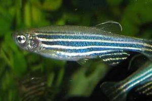 Zebrafish (Image: By Azul via Wikimedia Commons)